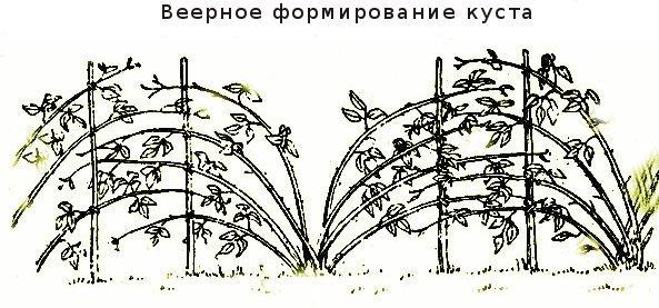 Веерная подвязка куста малины