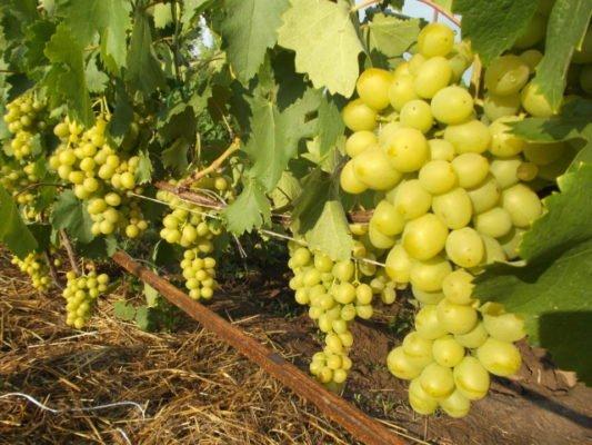 Виноград сорта Цитрин