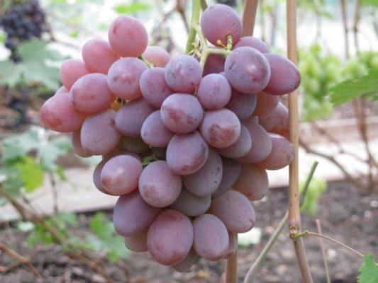 Виноград сорта Зоревой