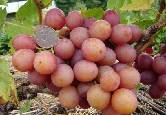 Виноград сорта Ливия