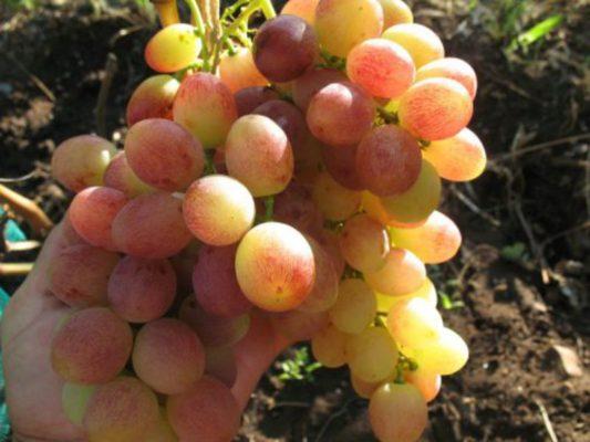 Виноград сорта Тасон