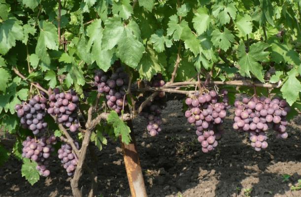 Виноград сорта Подарок Несветая