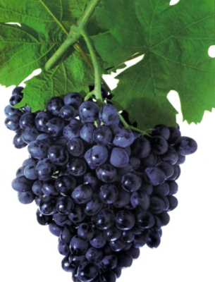 Виноград сорта Ранний Магарача