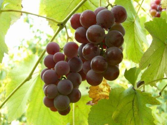 две грозди винограда Лидия