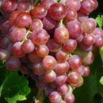Сорт винограда Шасла северная