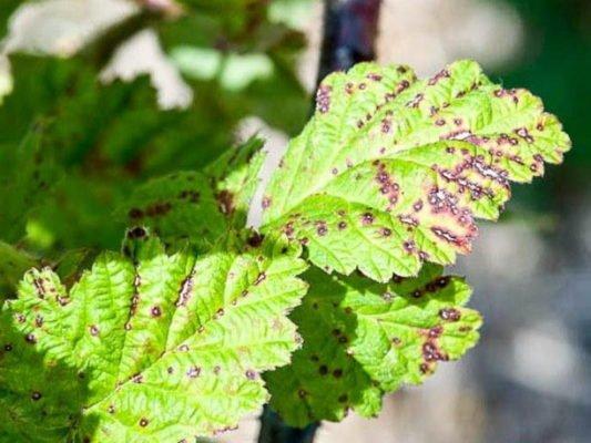 Симптомы заражения антракнозом на листьях малины
