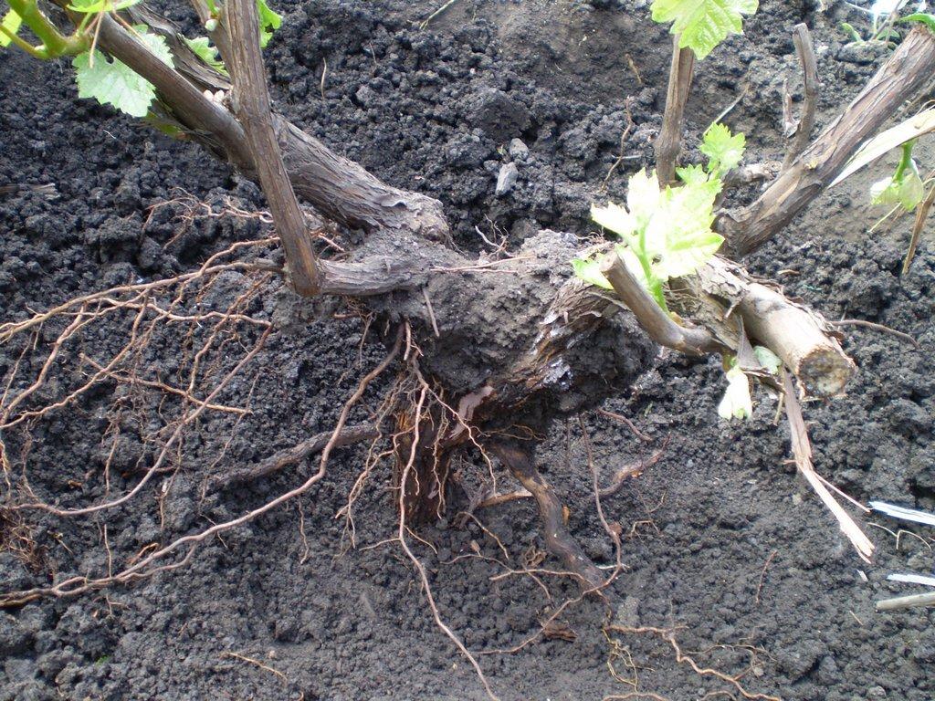 Правила пересадки винограда осенью на новое место