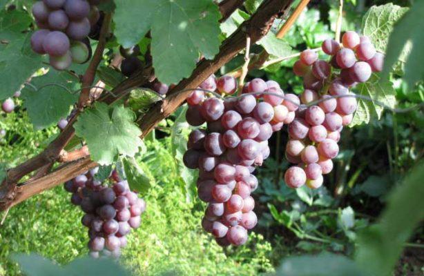 Грозди винограда Русский ранний