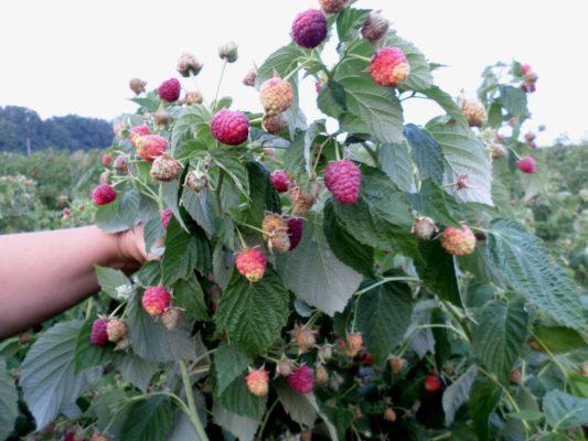 Куст малины Джоан Джей с ягодами