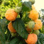 Сорт малины Абрикосовая