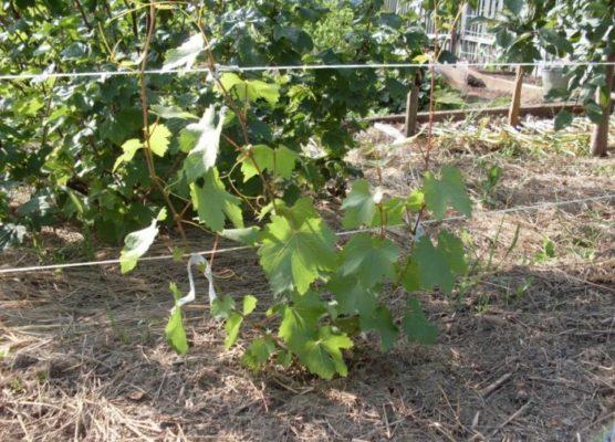 Двухлетний виноградный куст
