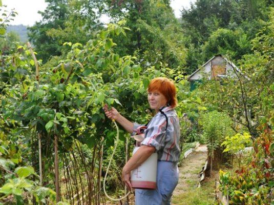 Биопрепаратами можно проводить обработку незадолго до сбора урожая