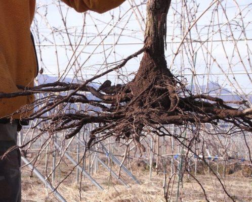 Выкопанный куст винограда