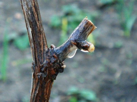 Весенний «плач» винограда