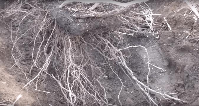 Установка виноградного куста в посадочную яму