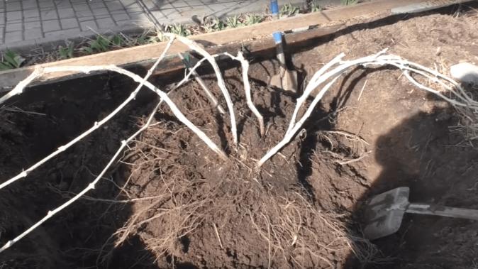 Выкопка виноградного куста