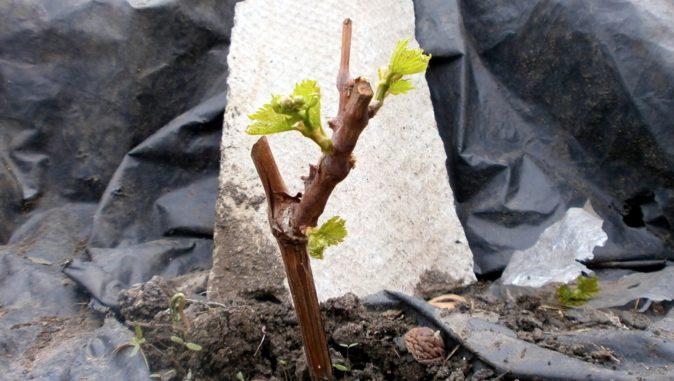 Обрезанный виноградный куст перед пересадкой