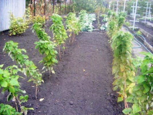 Обработка почвы в малиннике