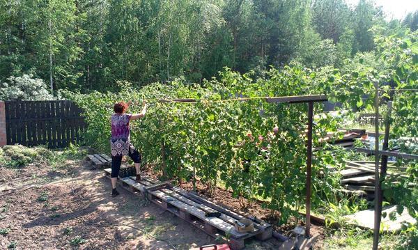 Выращивание малины на высоких грядах