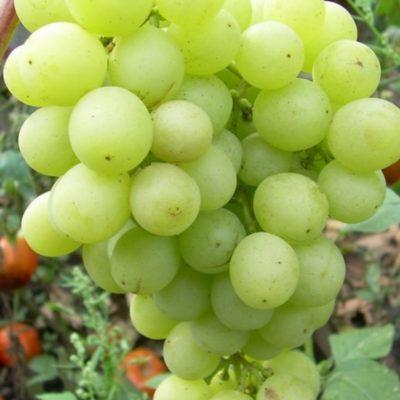 Гибрид винограда Русмол