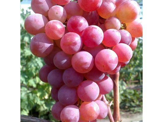 Виноград сорта Десертный