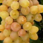 Виноград сорта Маринка