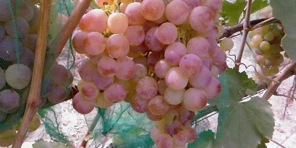 Виноград сорта Нимранг