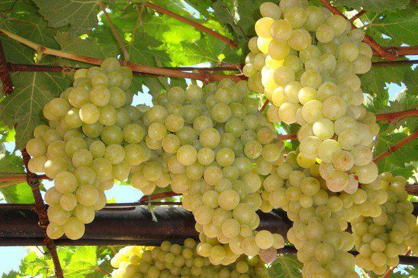 Виноград сорта Италия