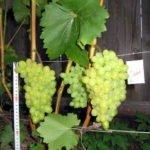 Гибрид винограда Нежность