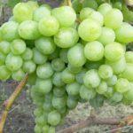 Виноград сорта Особый