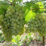 Виноград сорта Кавказский ранний