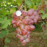 Виноград сорта Гелиос