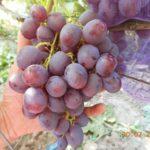 Гибрид винограда Рошфор