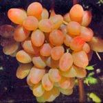 Виноград сорта Фантазия