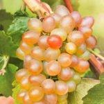 Виноград сорта Краса Севера