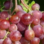 Виноград сорта Шасла розовая