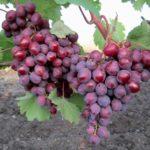 Виноград сорта Память учителя