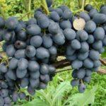 Виноград сорта Антрацит