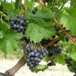 Виноград сорта Ассоль