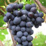 Виноград сорта Агат донской
