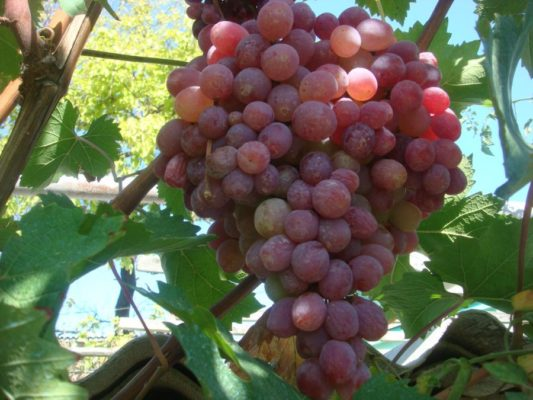 Виноград сорта Тайфи