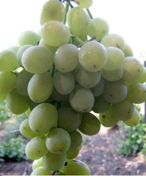 Виноград сорта Агадаи