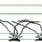 Безрукавная (головчатая) формировка