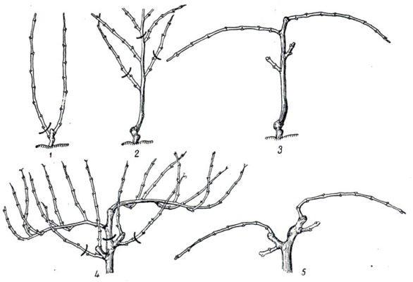 Схема выведения горизонтального двустороннего кордона со штамбом и двумя плодовыми звеньями