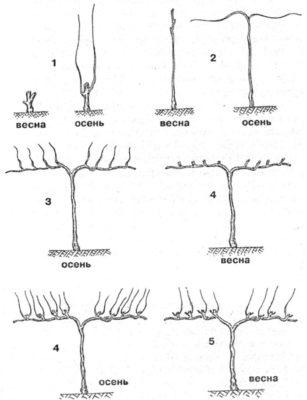 Схема формировки вертикального кордона
