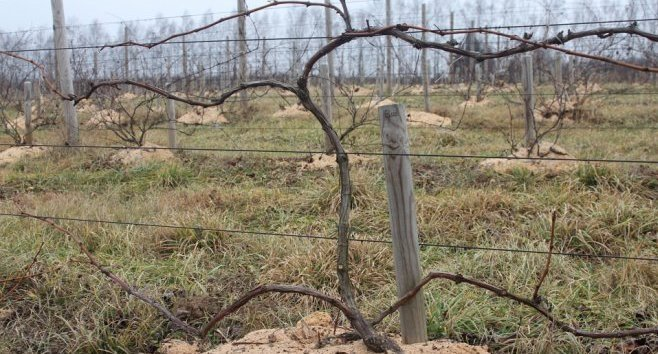 Кордонная формировка виноградного куста