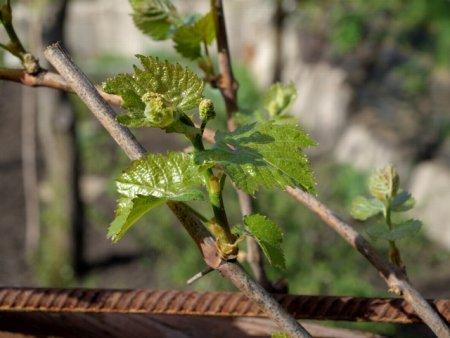 Молодой побег винограда с соцветиями