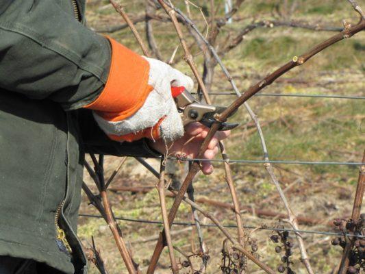 Обрезка виноградной лозы весной