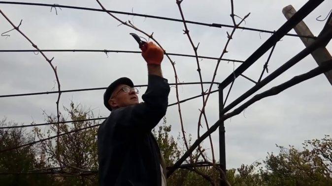 Обрезка винограда на беседке