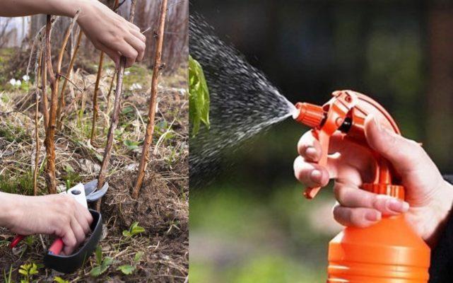 Обрезка и обработка малины весной